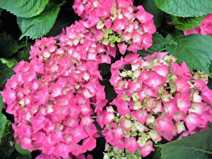 Фотографии Гортензия Вблизи Розовые Цветы