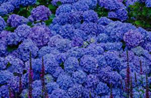 Фото Гортензия Много Голубой Цветы