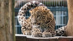 Картинки Леопарды Смотрит Лапы