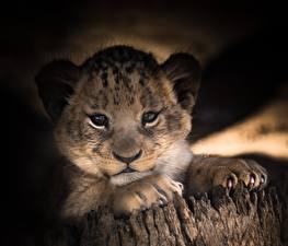 Картинка Львы Детеныши Взгляд Лапы Морда
