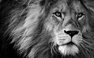 Фото Львы Смотрит Морда Черно белое Животные