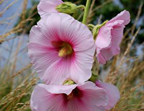 Картинка Мальва Вблизи Розовый Цветы