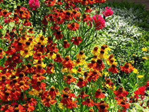 Картинки Много Rudbeckia Цветы
