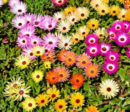 Картинки Мезембриантемум Много Крупным планом Цветы