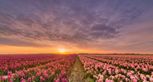 Фото Нидерланды Рассветы и закаты Поля Гиацинты Небо Природа Цветы