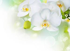Фотографии Орхидеи Вблизи Белых цветок