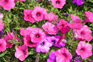 Обои Петунья Крупным планом Розовый Цветы