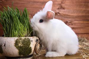 Картинки Кролики Белый Трава