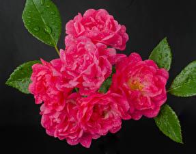 Фотографии Розы Вблизи Серый фон Розовый Капли Цветы