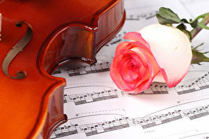 Фотографии Роза Вблизи Ноты Цветы
