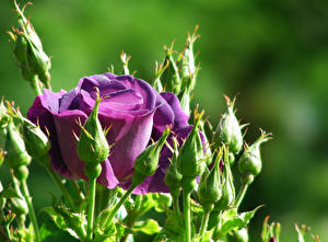 Фото Розы Вблизи Фиолетовый Бутон Цветы