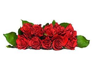 Картинка Розы Белый фон Красный