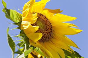 Фотографии Подсолнечник Вблизи Цветы