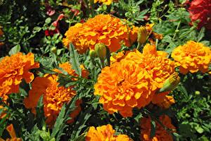 Фото Бархатцы Крупным планом Оранжевый Цветы