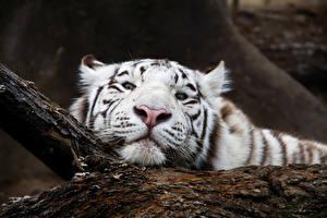 Фотографии Тигры Большие кошки Морда Белых Взгляд Животные