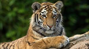 Картинка Тигры Взгляд Лапы