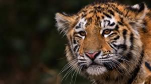 Фото Тигры Смотрит Усы Вибриссы Морда животное