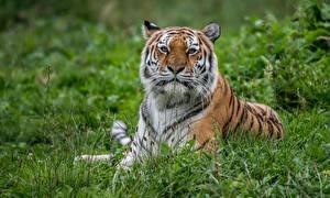 Картинки Тигры Траве Смотрит