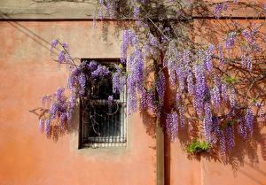 Фотография Вистерия Стенка Цветы