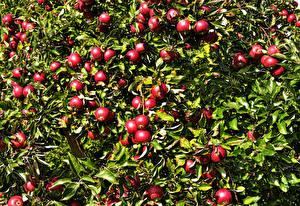 Обои Яблоки Ветки Красный Листья Еда картинки