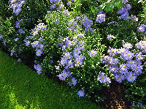 Фотографии Астры Фиолетовый Трава Цветы
