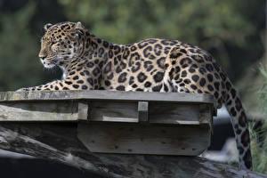 Фотографии Большие кошки Леопарды