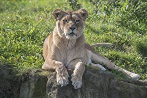 Фотографии Большие кошки Лев Львица Смотрит