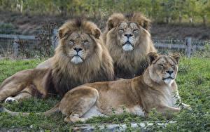 Картинки Большие кошки Лев Львица Трое 3 Смотрит