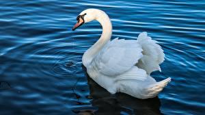 Обои Птицы Лебеди Вода Животные картинки
