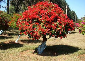 Обои Бугенвиллия Красный Деревья Цветы