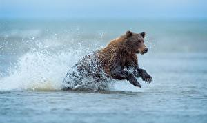 Картинка Медведи Бурые Медведи Вода Бег Брызги Животные