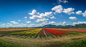 Обои Канада Пейзаж Поля Тюльпаны Небо Ванкувер Облака Холм Природа
