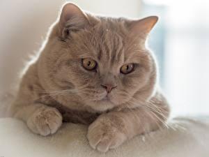 Фотография Кошки Смотрит Морда Лапы British Shorthair