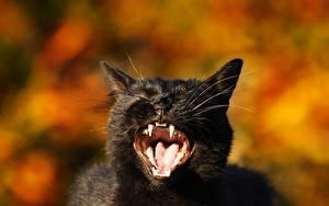 Фото Кошки Клыки Черный Взгляд Оскал Язык (анатомия) Животные
