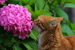 Обои Кошки Гортензия Рыжий Животные