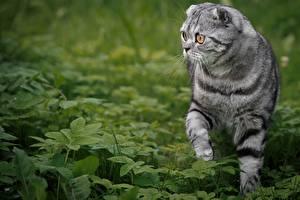 Картинки Коты Шотландская вислоухая Траве Взгляд Животные