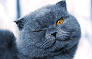 Фото Коты Морда Серый Смотрит Животные