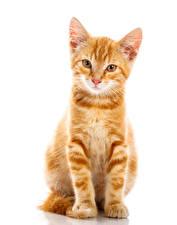 Картинки Коты Белый фон Котята Рыжий Взгляд Животные