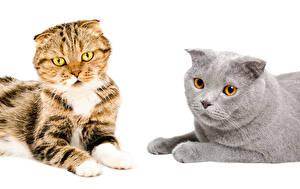 Фото Кошки Белый фон Два Смотрит животное