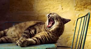 Картинки Коты Зевает Язык (анатомия) Животные