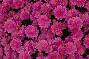 Фотографии Хризантемы Вблизи Много Розовый