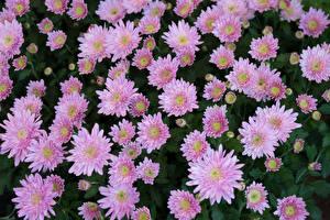 Фото Хризантемы Много Розовый