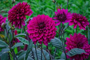 Картинка Георгины Вблизи Бордовый Цветы