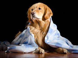 Фотографии Собаки Золотистый ретривер Смотрит