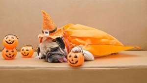 Обои Собаки Тыква Праздники Хеллоуин Бульдог Шляпа