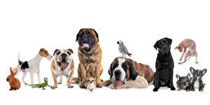Картинка Собаки Кролики Попугаи Белый фон Чихуахуа Бульдог Ящерица Saint Bernard mastiff labrador retriever fox terrier Животные
