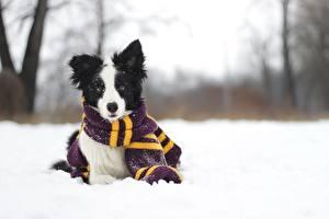 Обои Собаки Зимние Бордер-колли Шарфом Снег