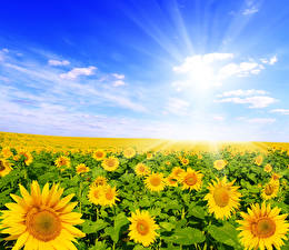 Фотография Поля Подсолнухи Много Небо Облака Цветы