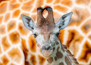 Фотографии Жирафы Морда Голова