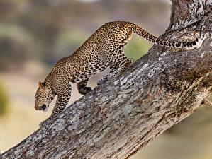 Картинка Леопарды Ствол дерева
